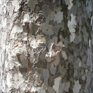 tree bark N SPain